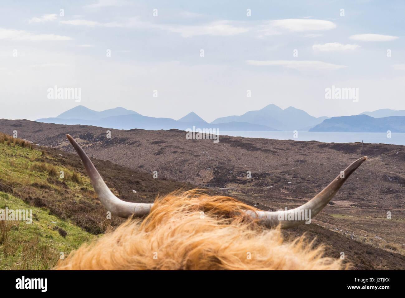 Crisnée, Highlands écossais. 1er mai 2017. UK - une vache highland en regardant vers l'Cuillin sur Photo Stock