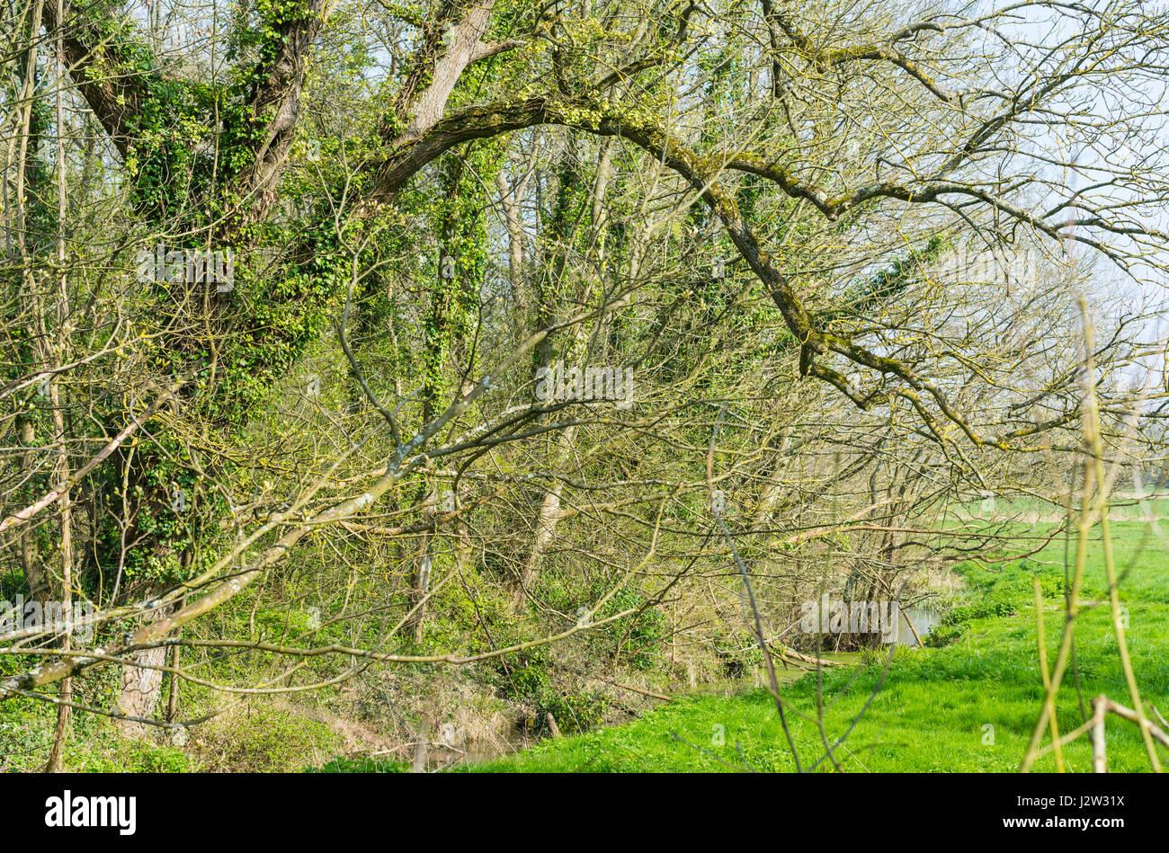 Les arbres sans feuilles au début du printemps que les feuilles commencent à se développer en arrière, Photo Stock