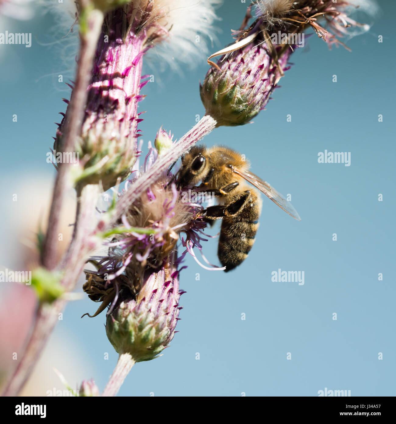 Portrait en gros plan d'une abeille à la pollinisation des plantes à fleurs Photo Stock