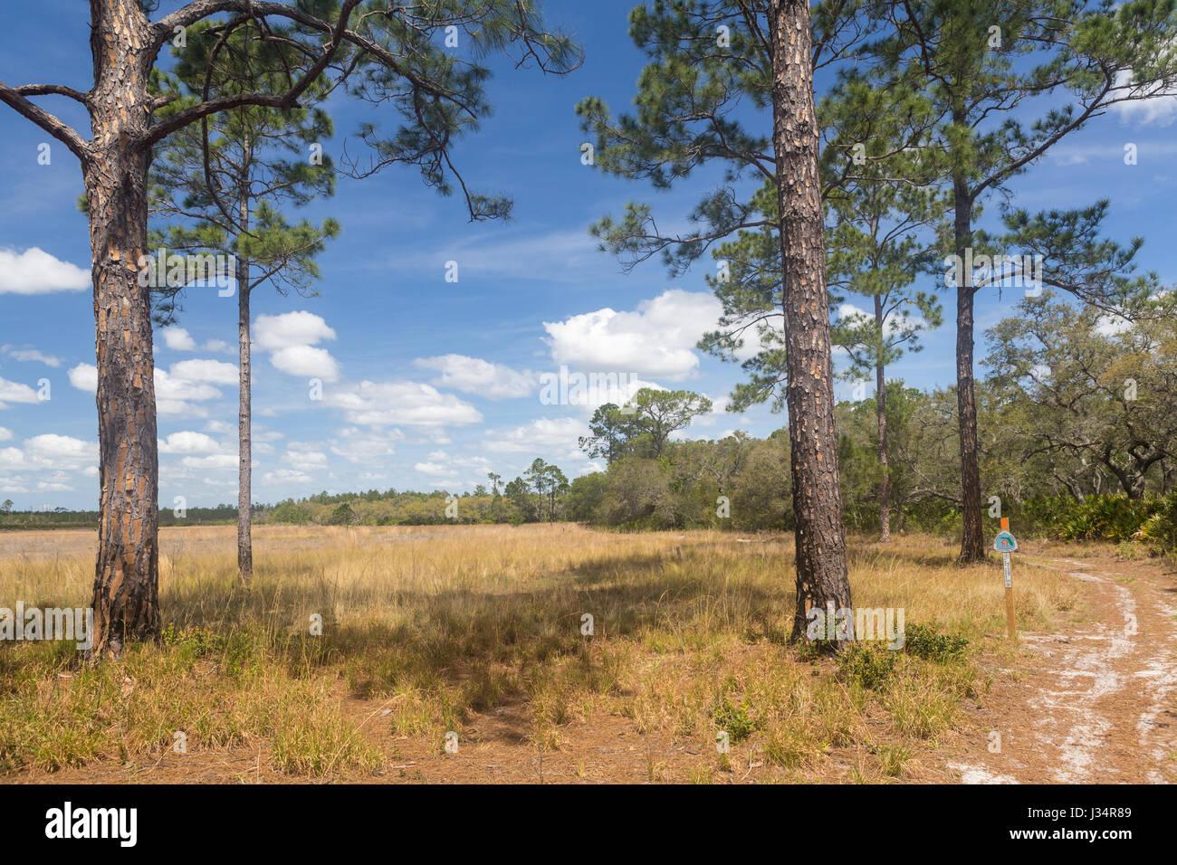 Le sentier de la Floride, une National Scenic Trail, qui serpente dans le sable et scrub pin Oak Hammock (habitats Photo Stock