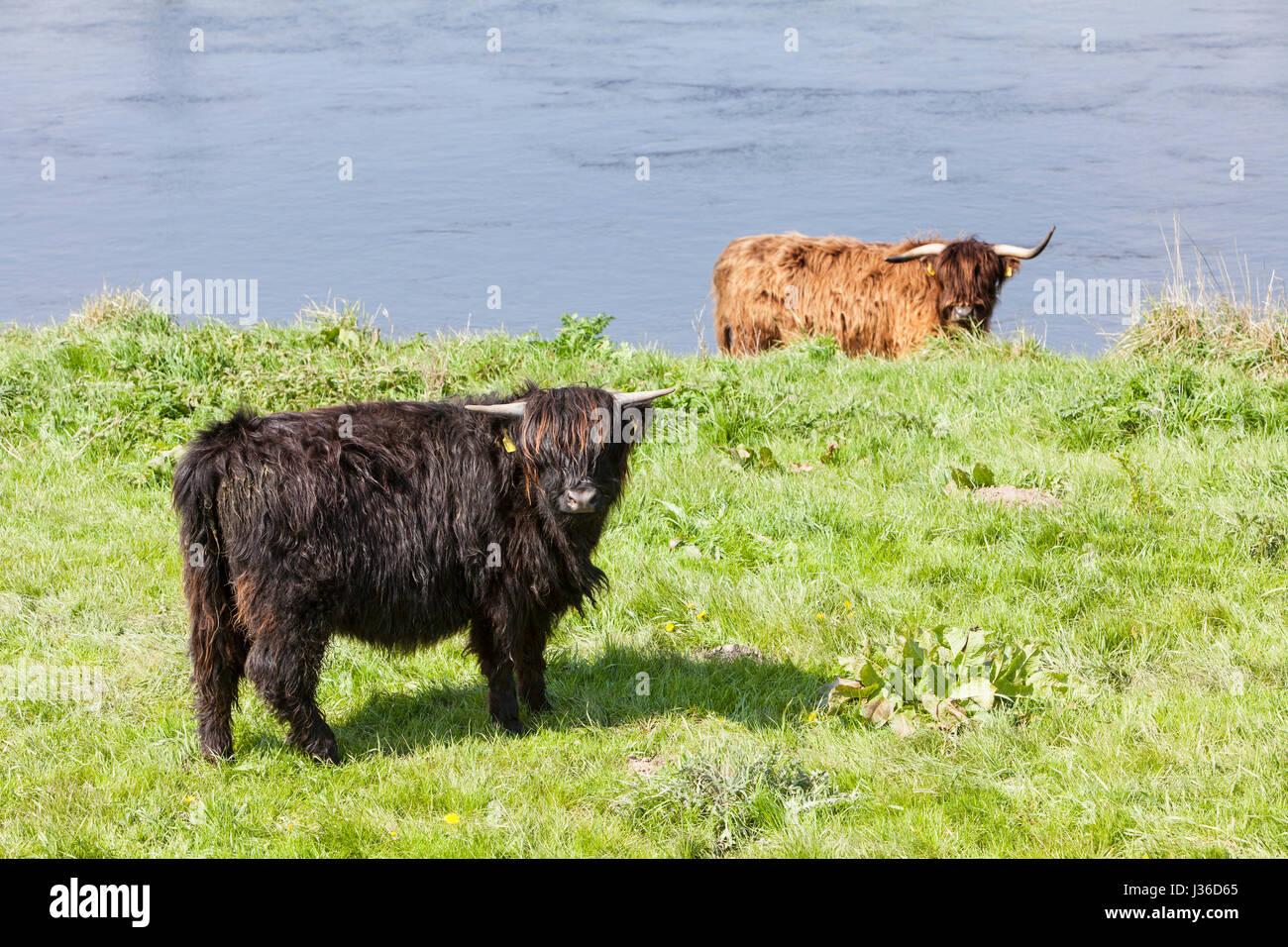 Highland cattle, Weser, Weser Uplands, Thuringe, Hesse, Allemagne Banque D'Images