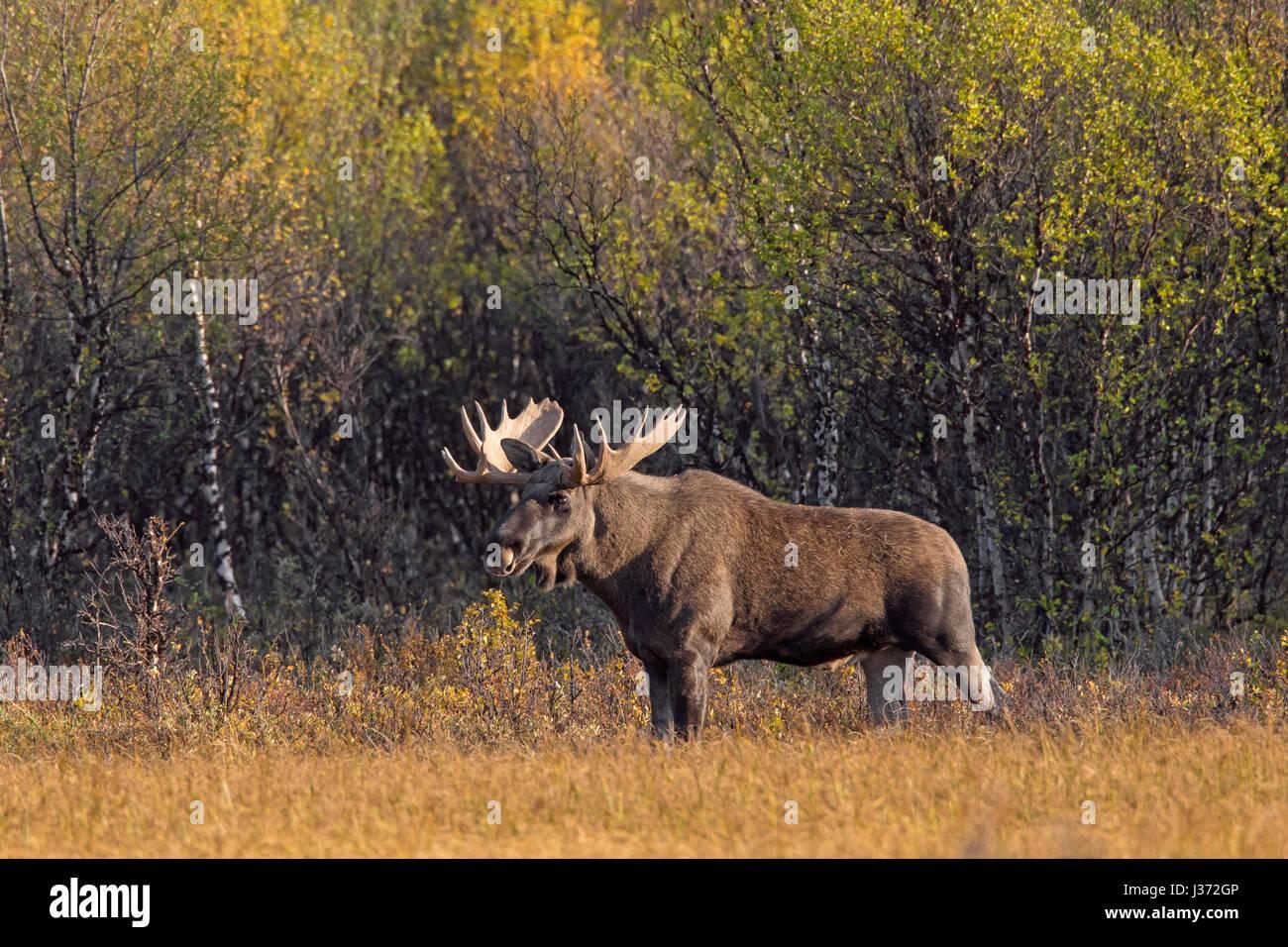 L'orignal (Alces alces) bull nourriture dans la lande avec les bouleaux en automne, Scandinavie Banque D'Images