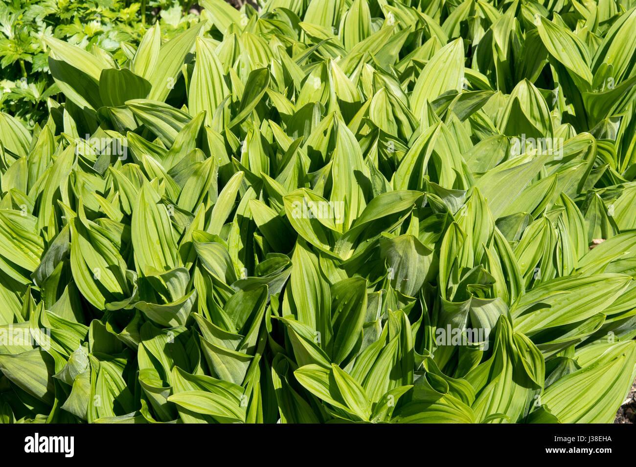 Veratrum album Photo Stock