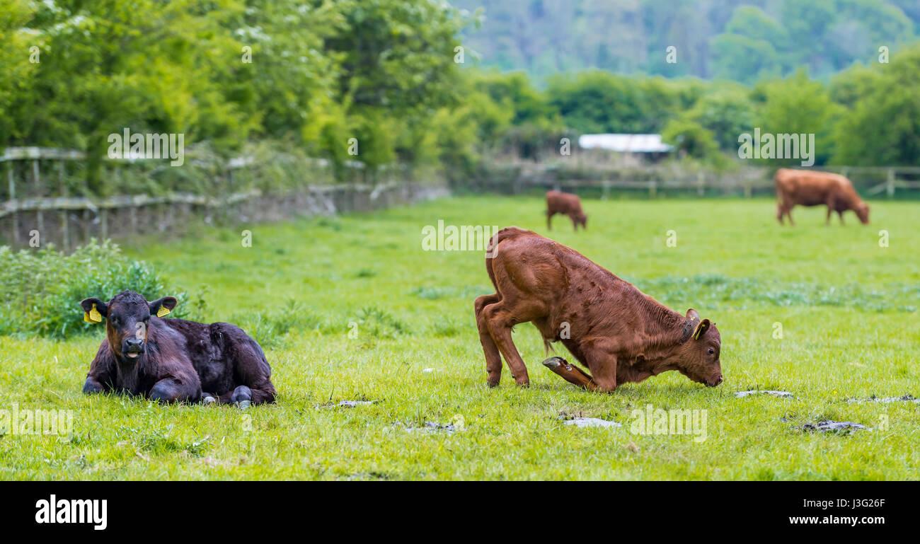 Bum dans l'air. Vaches dans un champ avec une vache d'essayer de s'asseoir. Photo Stock