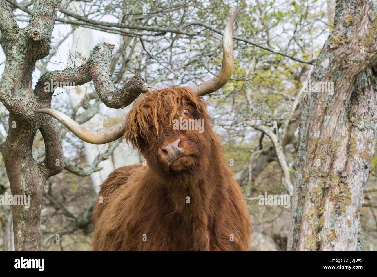 Vache highland drôle de rayer sur branch Banque D'Images