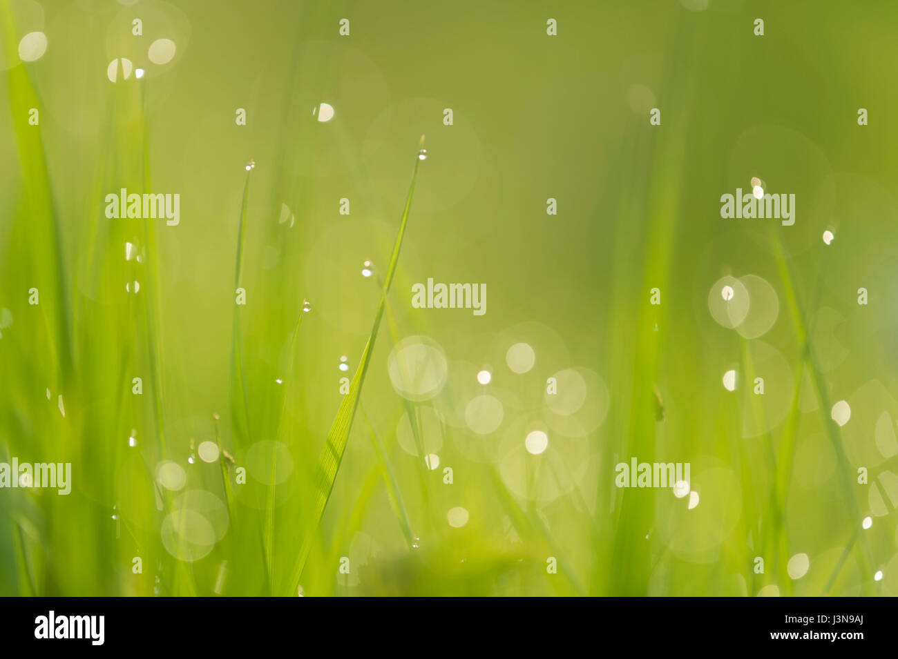 Brins d'herbe, Basse-Saxe, Allemagne Photo Stock