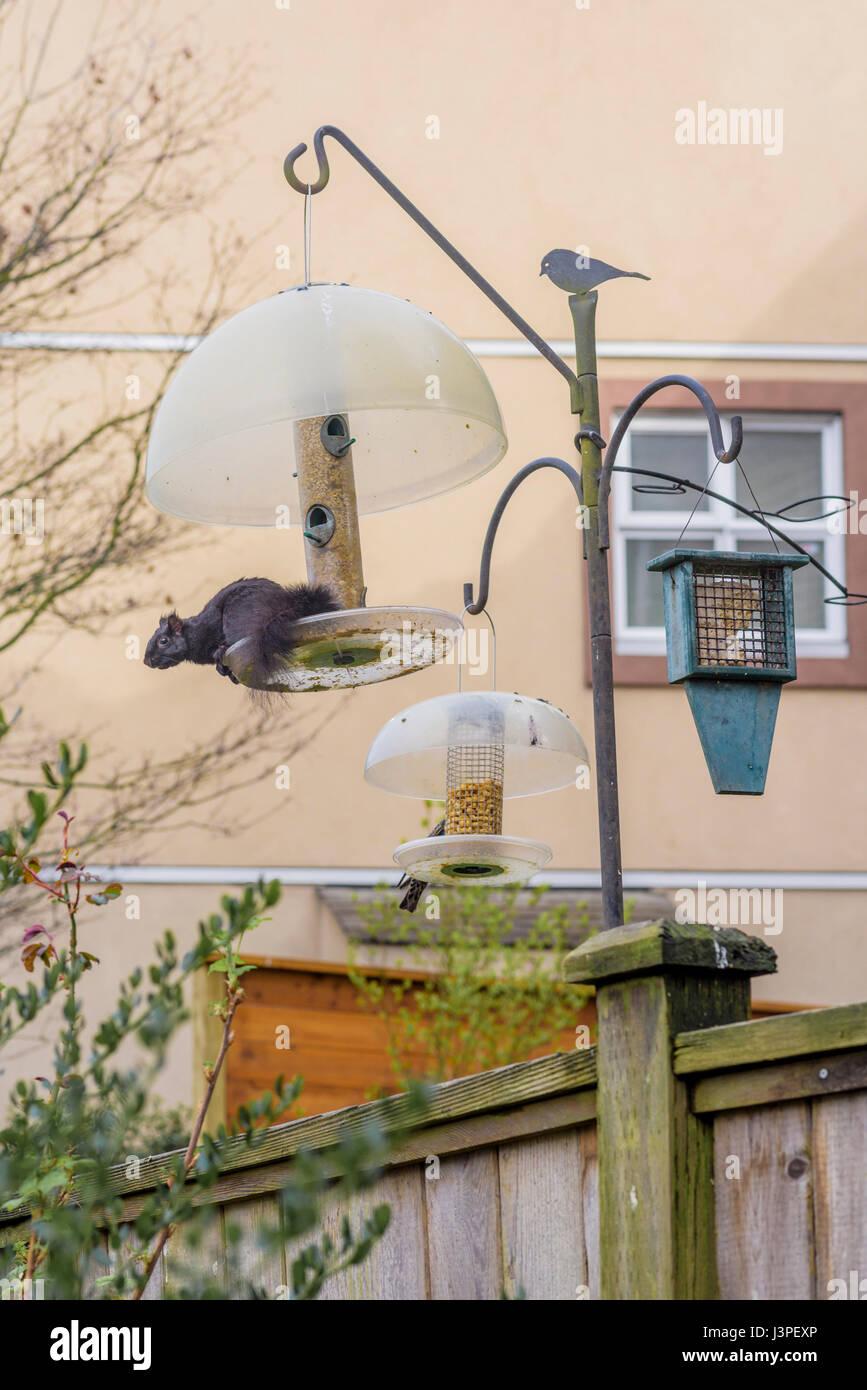 Sur la preuve de l'écureuil l'Écureuil mangeoire pour oiseaux. Photo Stock