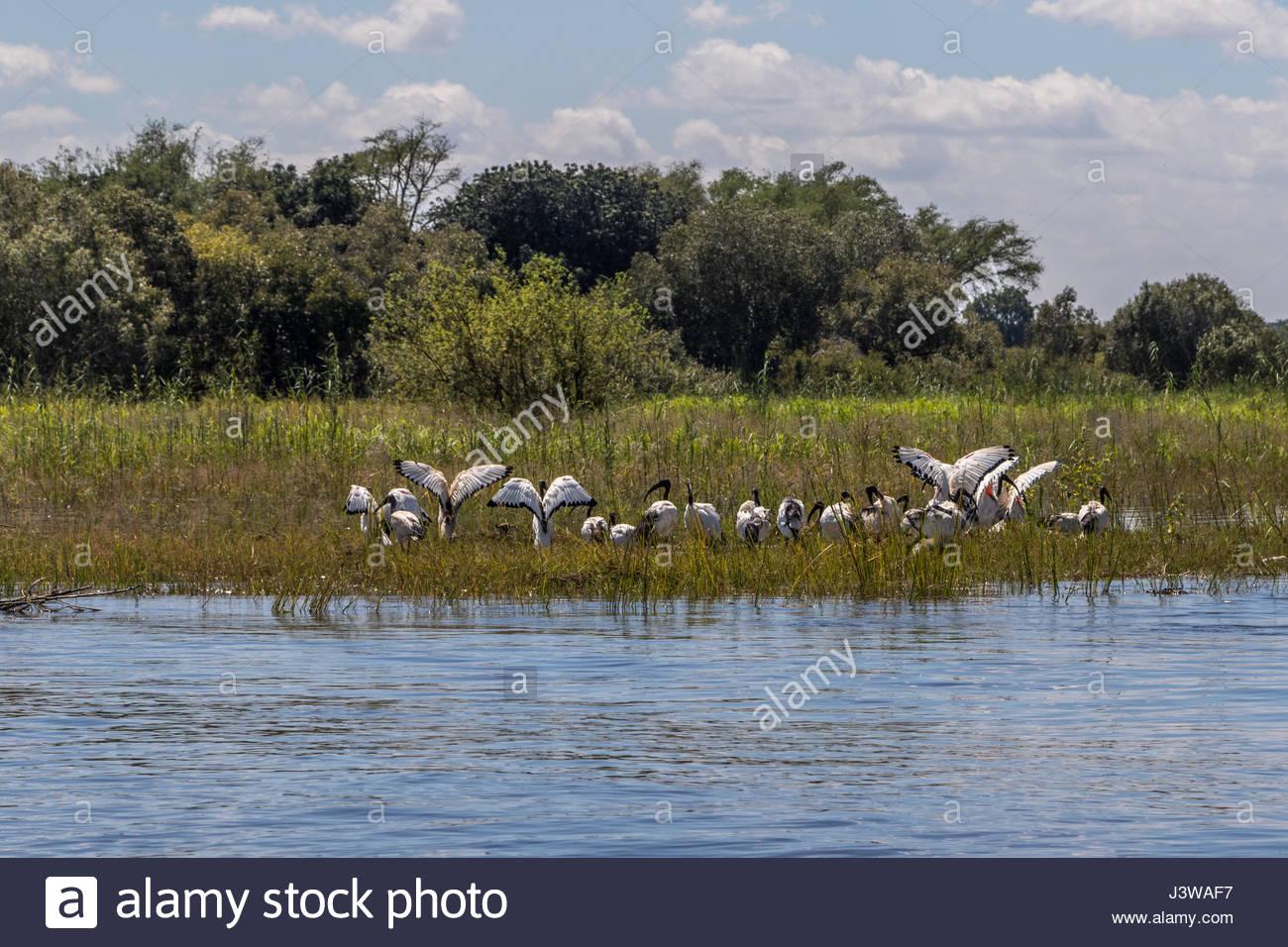 Un troupeau d'ibis sacré recueillies sur les berges du Zambèze, au Zimbabwe. Photo Stock