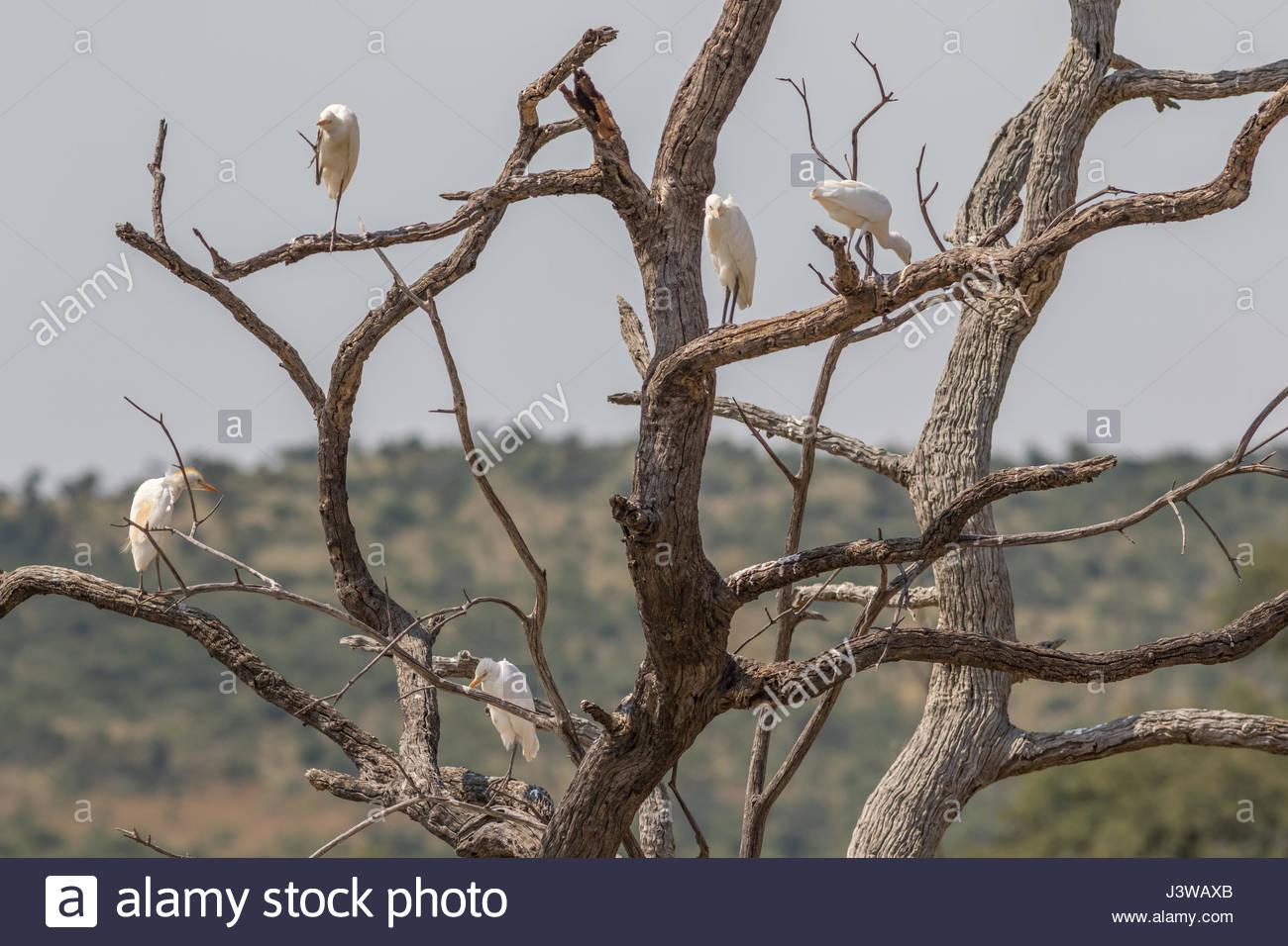 Un troupeau de bovins de l'ouest d'aigrettes perchées dans les branches d'un arbre mort. Photo Stock