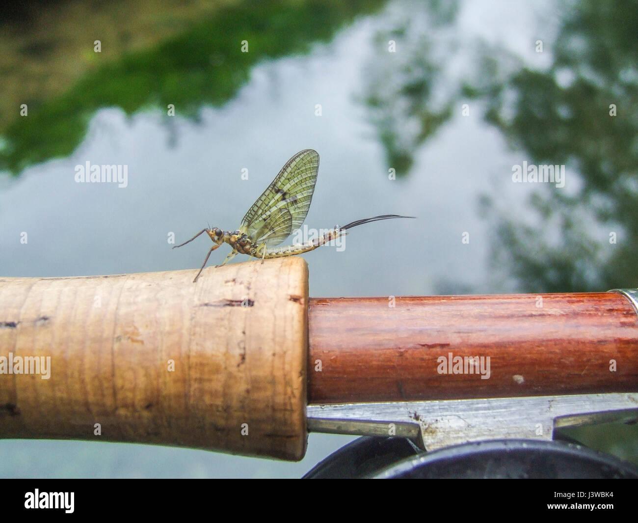 Un éphémère sur une poignée de canne à pêche Photo Stock