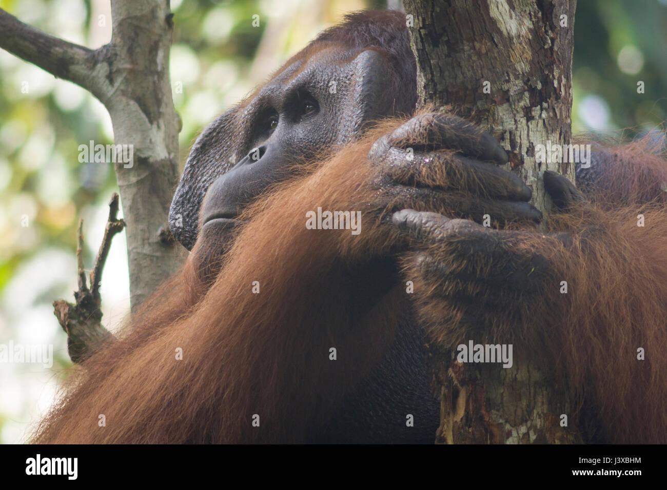 Gravement menacée d'orang-outan (Pongo pygmaeus). Les mâles adultes ont la caractéristique joue Photo Stock