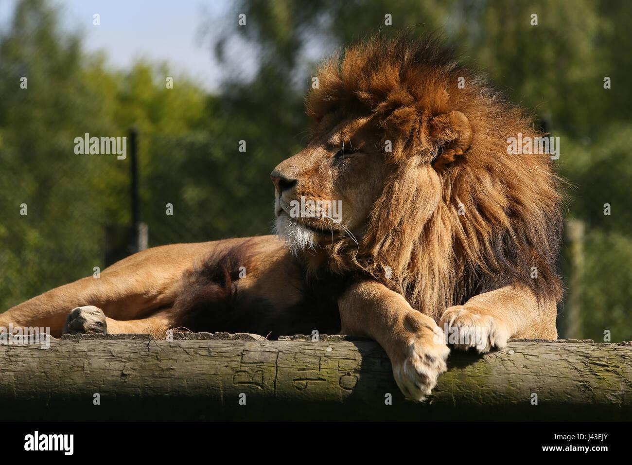 Lion à Knowsley Safari, Prescot, Royaume-Uni Photo Stock