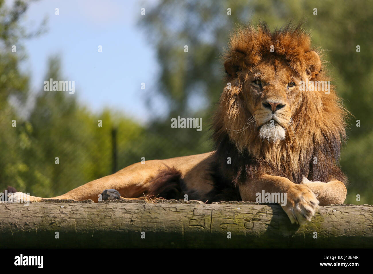 Lion à Knowsley Safari, Prescot, Royaume-Uni Photo Stock