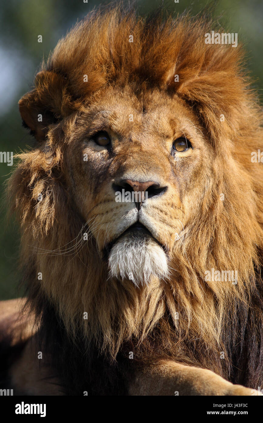Close-up of a Lion à Knowsley Safari, Prescot, Royaume-Uni Photo Stock