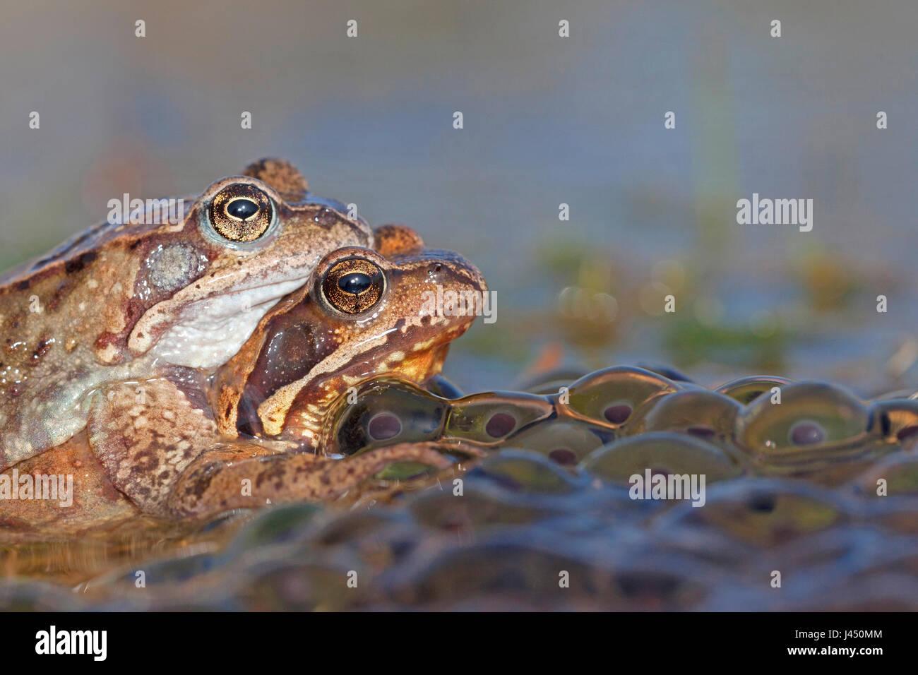 Paire de grenouilles dans l'eau commune entre le frai de grenouille Photo Stock