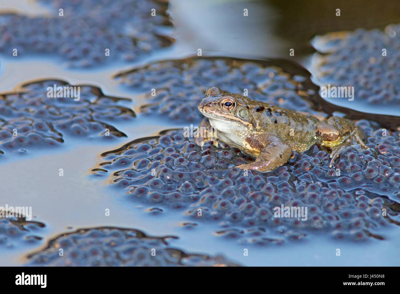 Grenouille rousse grenouille mâle en haut de frayer au cours de l'accouplement Photo Stock
