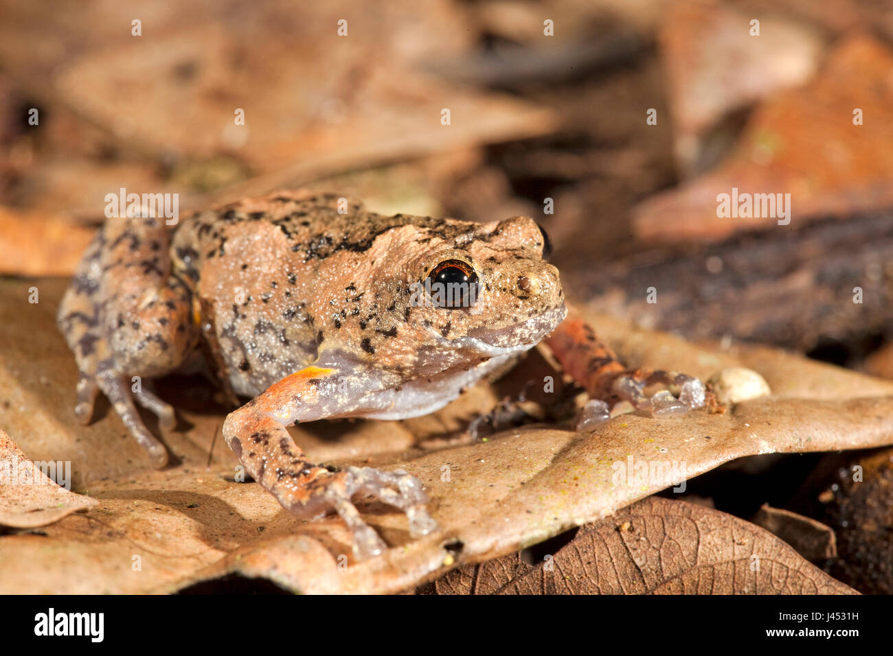 Photo d'un trou d'arbre grenouille, elles pondent leurs œufs dans des trous d'arbres, les hommes appel Photo Stock
