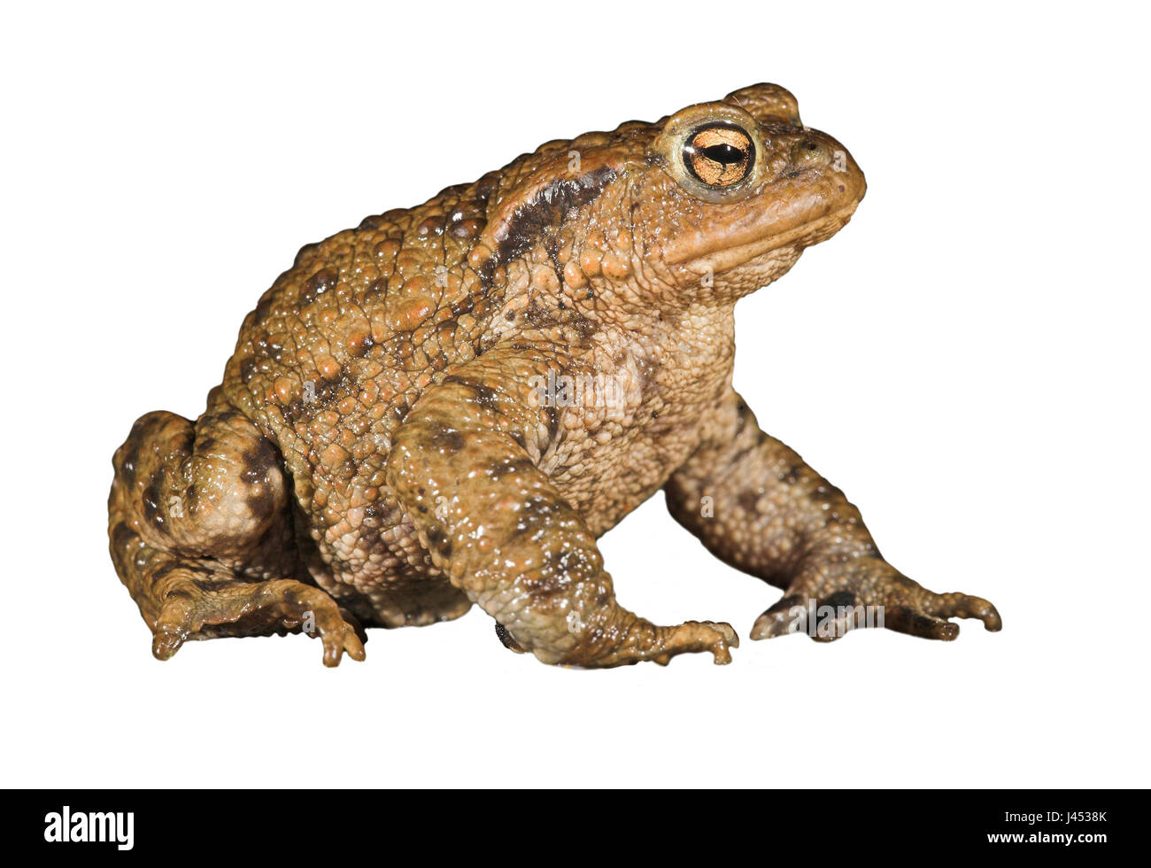 Crapaud commun against white background Photo Stock