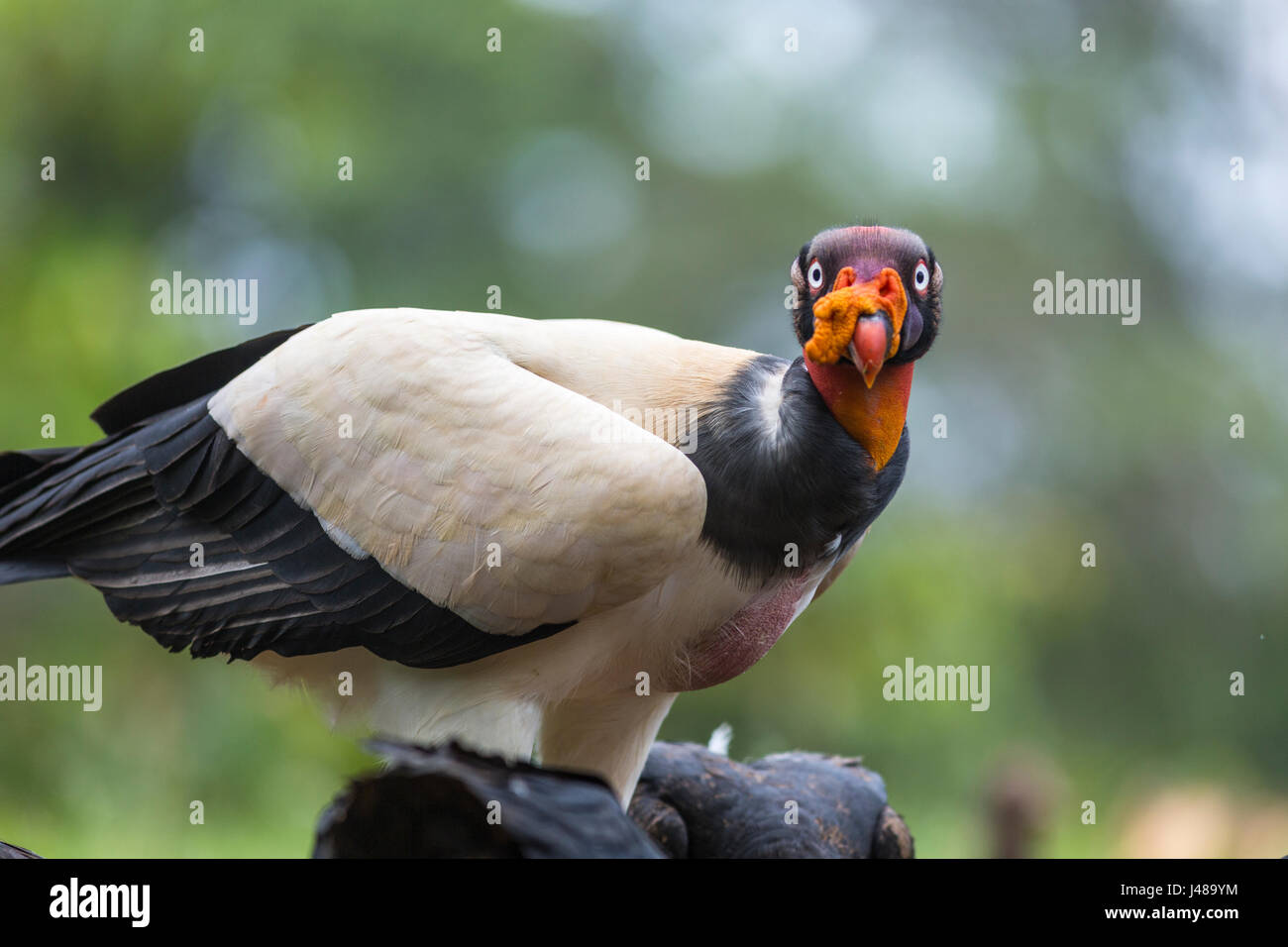 King Vulture, Sarcoramphus papa, à la recherche à la caméra à Laguna del Lagarto, Boca Tapada, Photo Stock