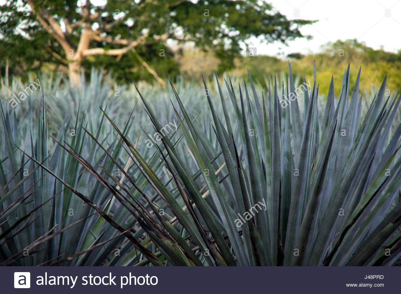 Agave du mexique finest agave bleuagave azul plantes du mayapan valladolid mexique photo stock - Agave du mexique ...
