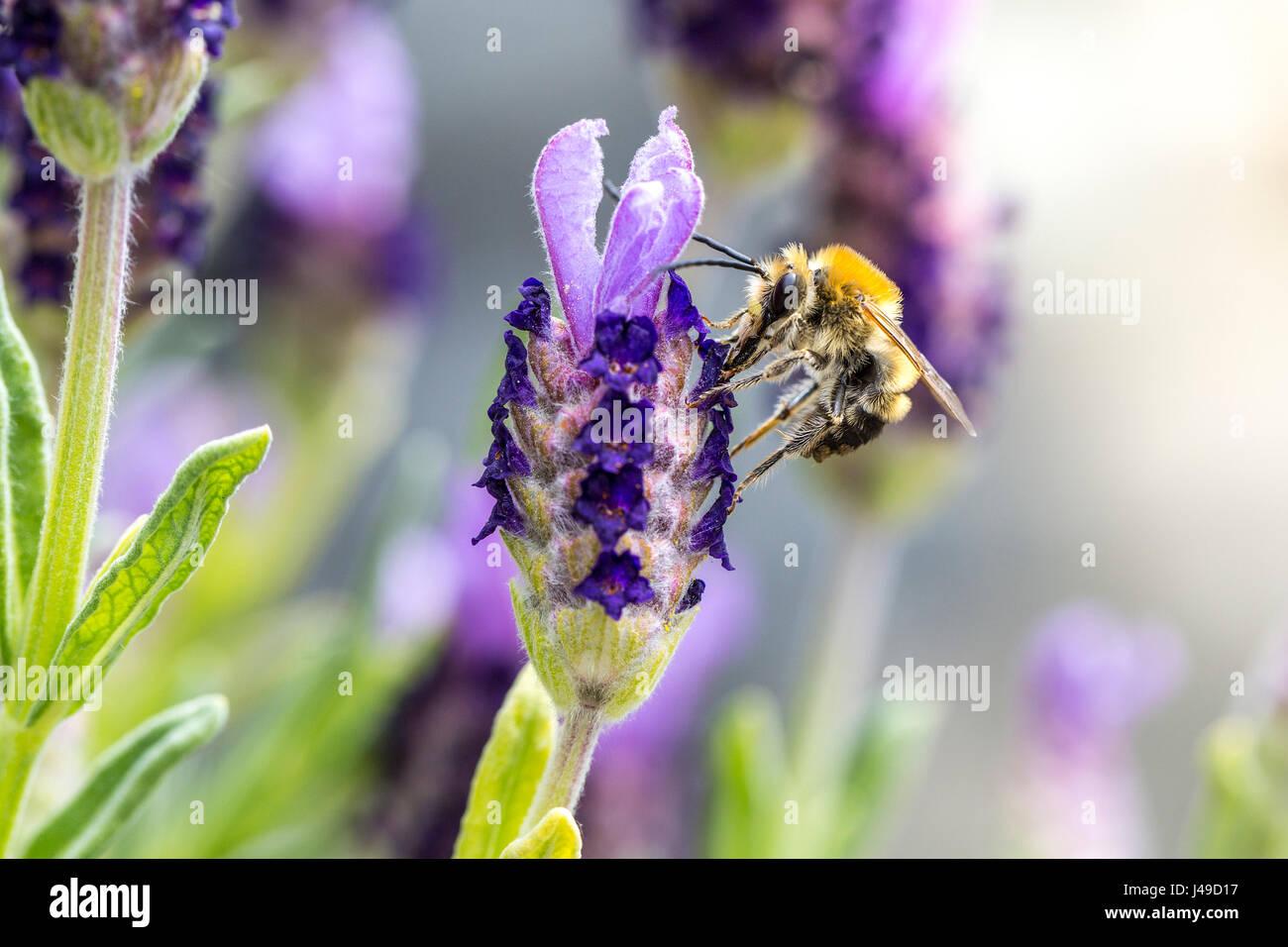 Macro d'une abeille pollinisant les fleurs de lavande Photo Stock