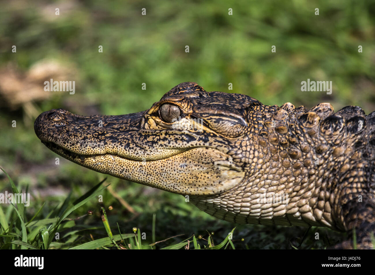 Tête de jeune alligator Photo Stock
