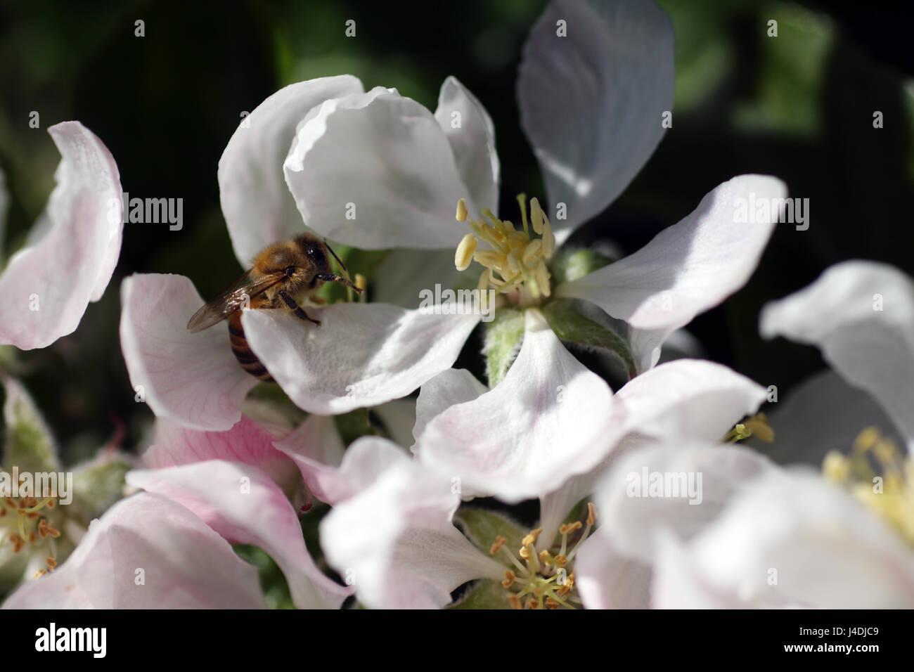 Abeille et fleur de pommier sur un après-midi de printemps. Banque D'Images