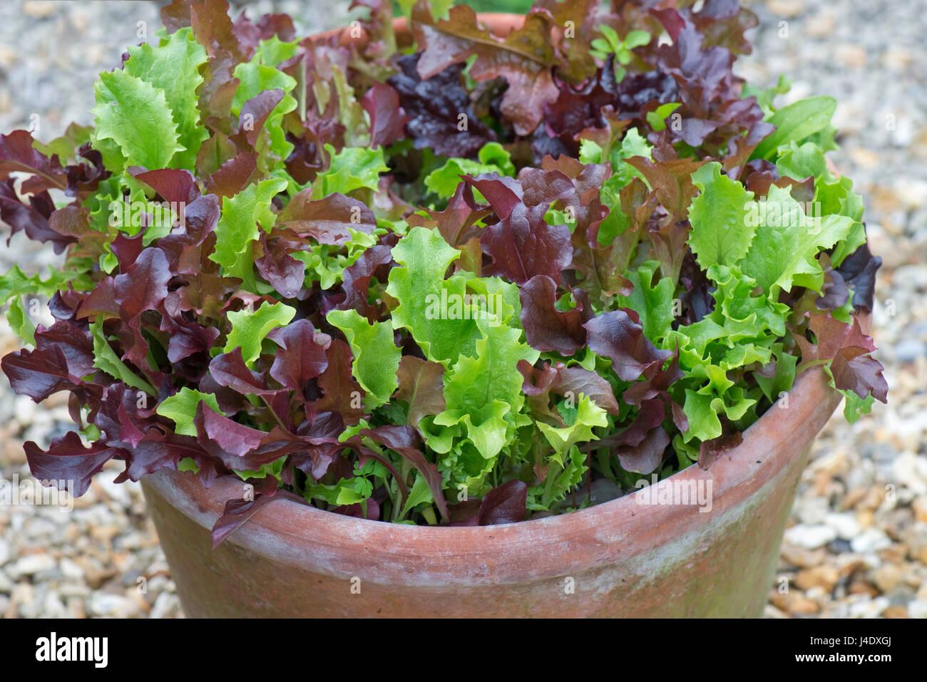 Conteneur de jardin, un pot en terre cuite, avec les jeunes de laitue rouge et vert mélangé les plantes Photo Stock