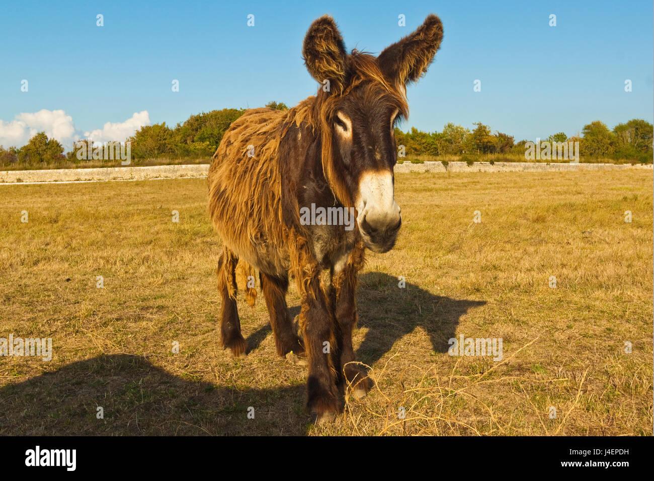 Les ânes laineux, un type rare (Baudet du Poitou) une fois utilisés pour transporter le sel, Saint Martin Photo Stock