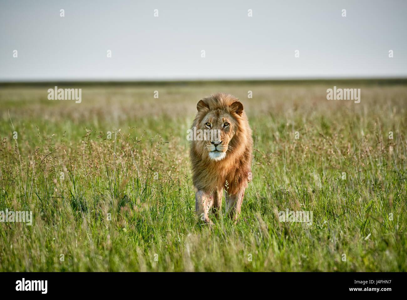 Male lion (Panthera leo) patrouillant dans la zone, l'espace libre sur le côté Photo Stock
