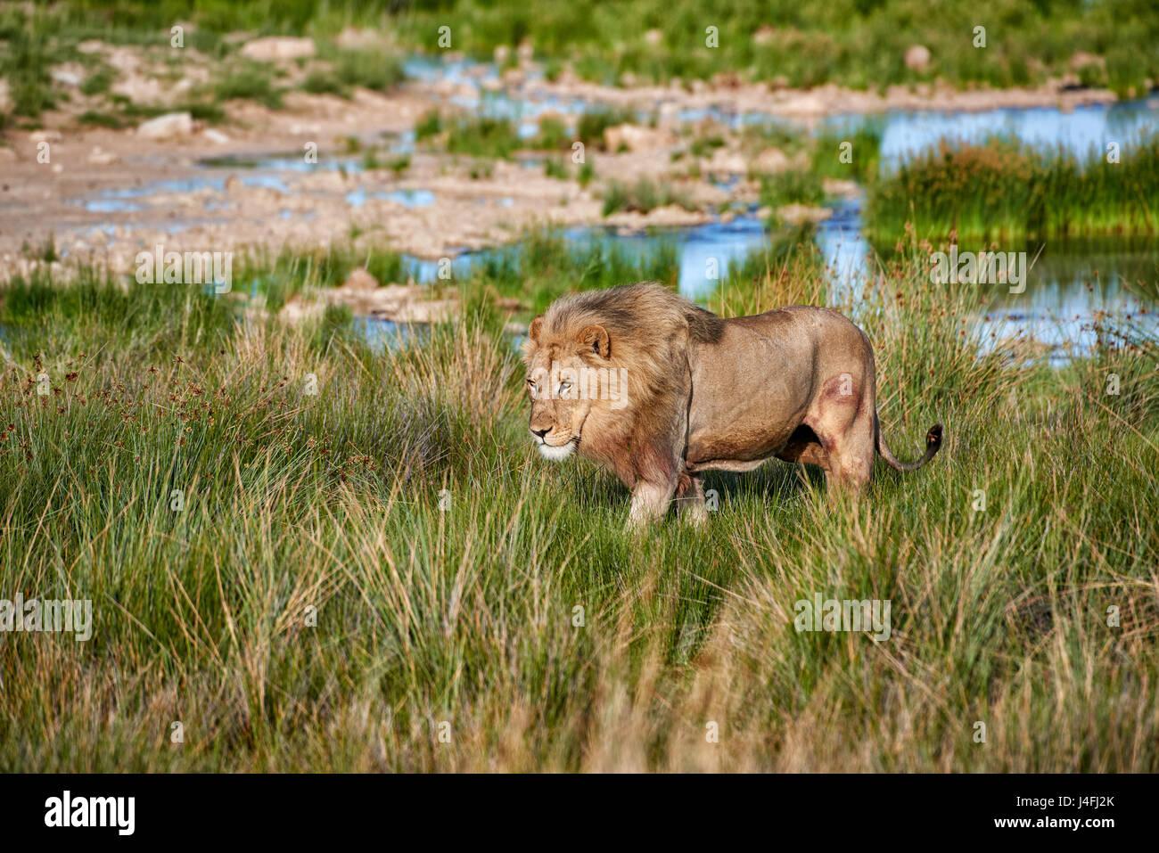 Male lion (Panthera leo) patrouillant dans la zone Photo Stock