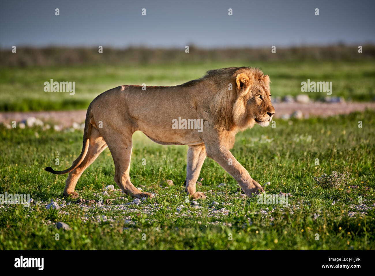 Male lion (Panthera leo) patrouillant dans la zone Photo Stock