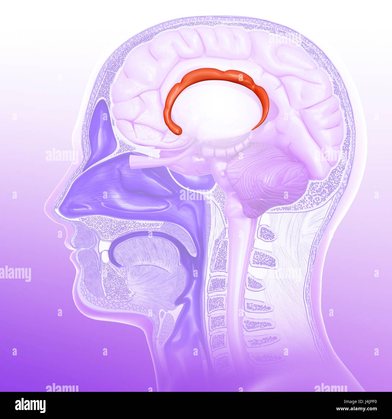 Illustration du gyrus cingulaire du cerveau humain. Photo Stock