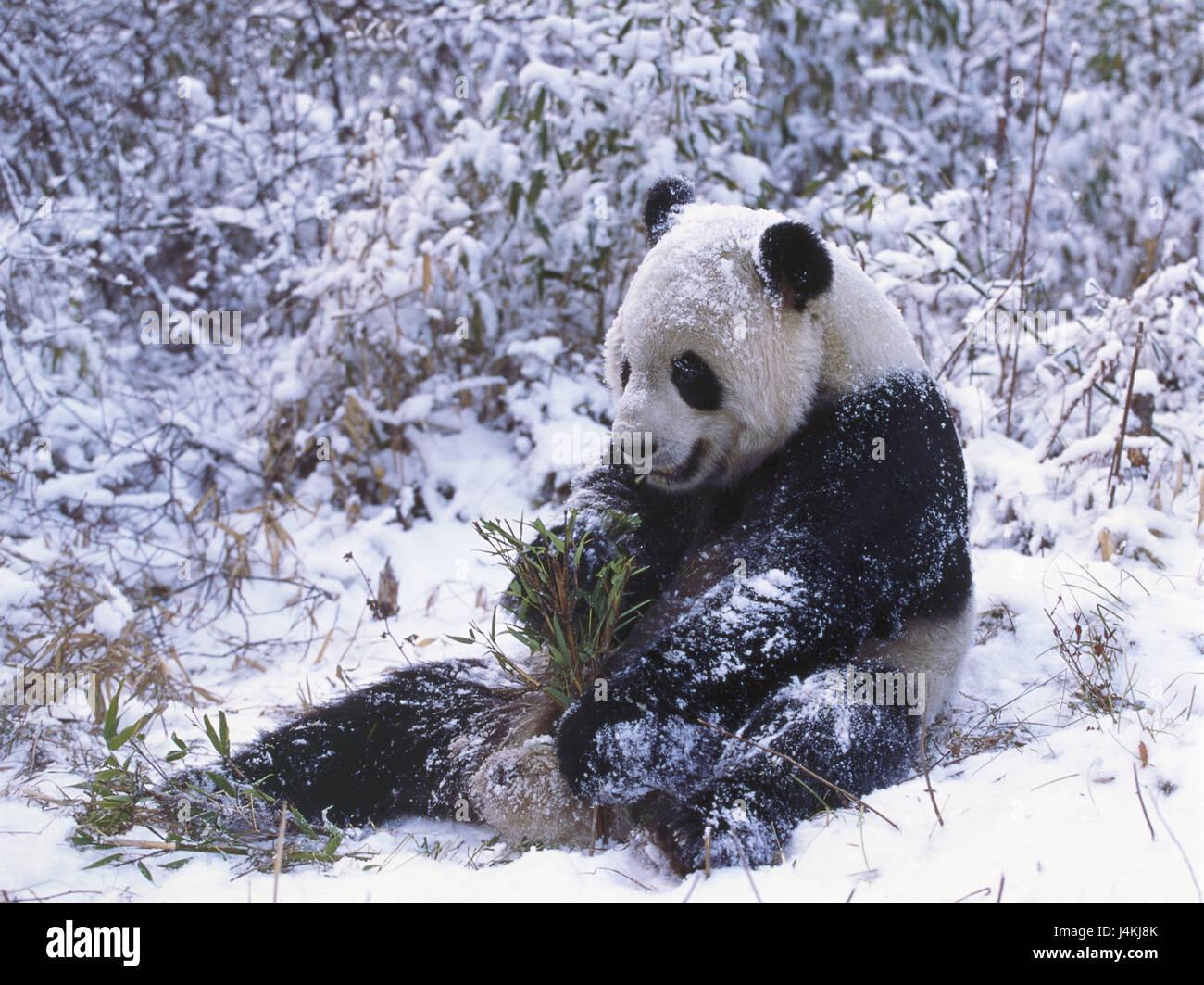 Le bois, grand panda, Ailuropoda melanoleuca, s'asseoir, de bambou, de l'ingestion, l'hiver, le monde Photo Stock