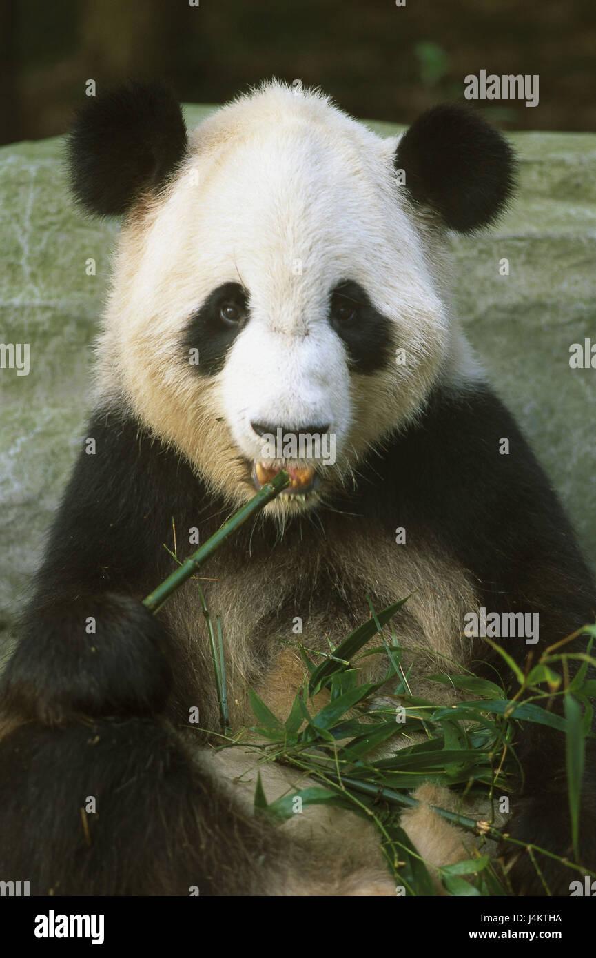 Chine, province du Sichuan, Chengdu, Centre d'élevage, panda panda géant, Ailuropoda melanoleuca, Photo Stock
