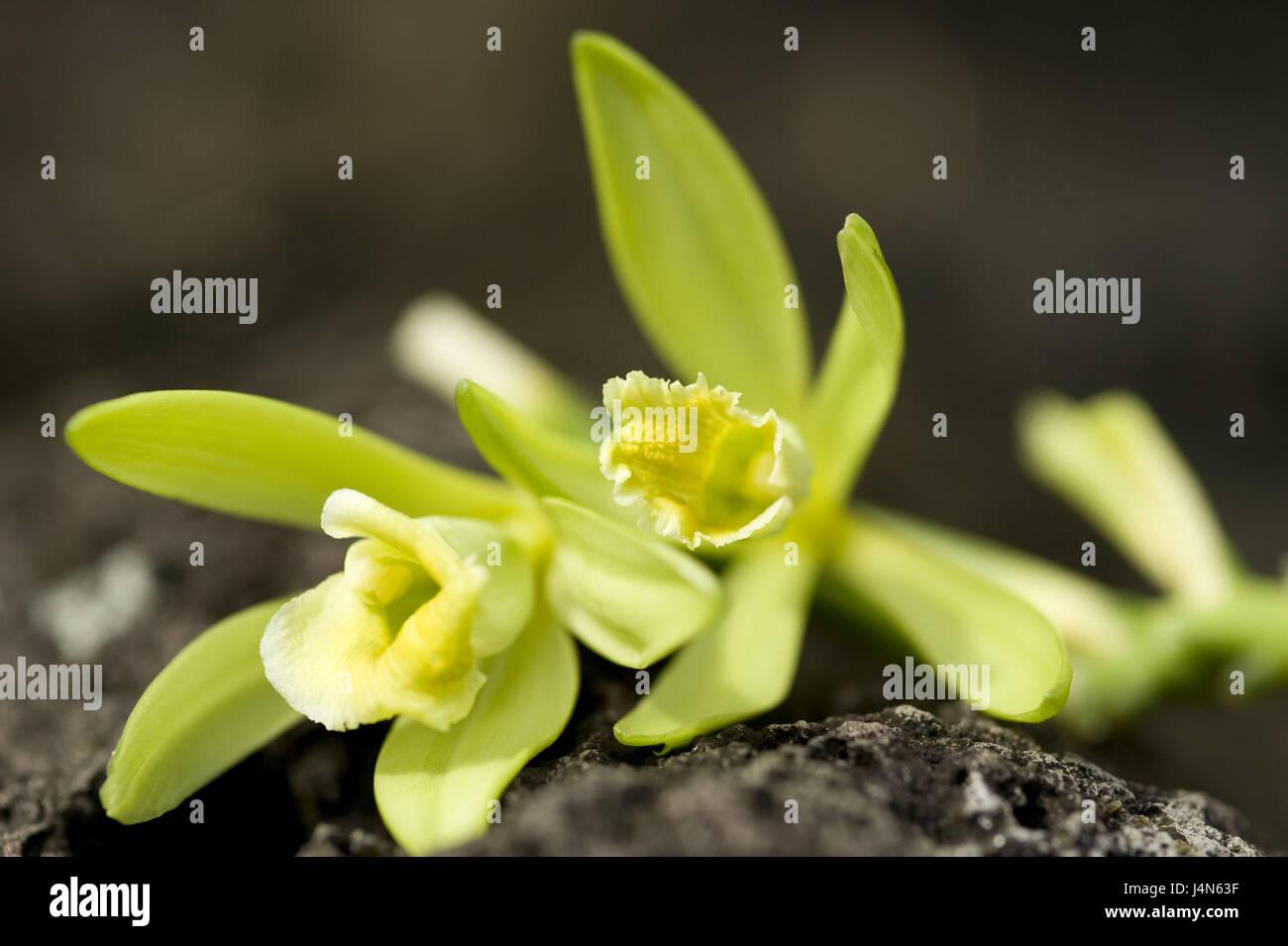 la vraie vanille, vanilla planifolia, fleurs, plante, orchidée