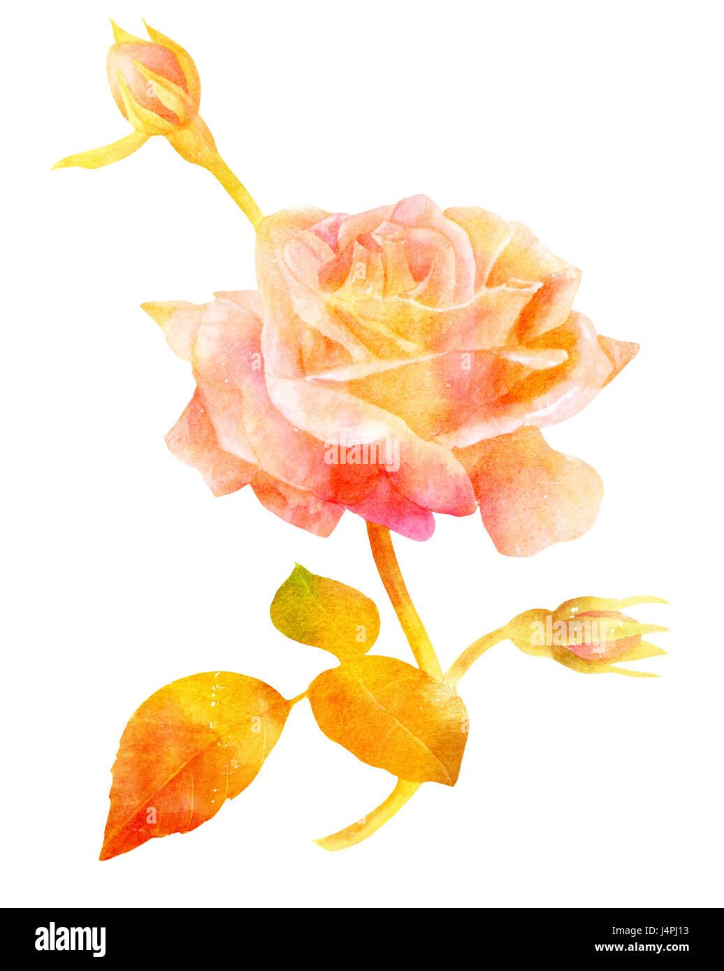 Une Aquarelle Dessin D Une Fleur Rose Avec De Nouveaux Bourgeons Et
