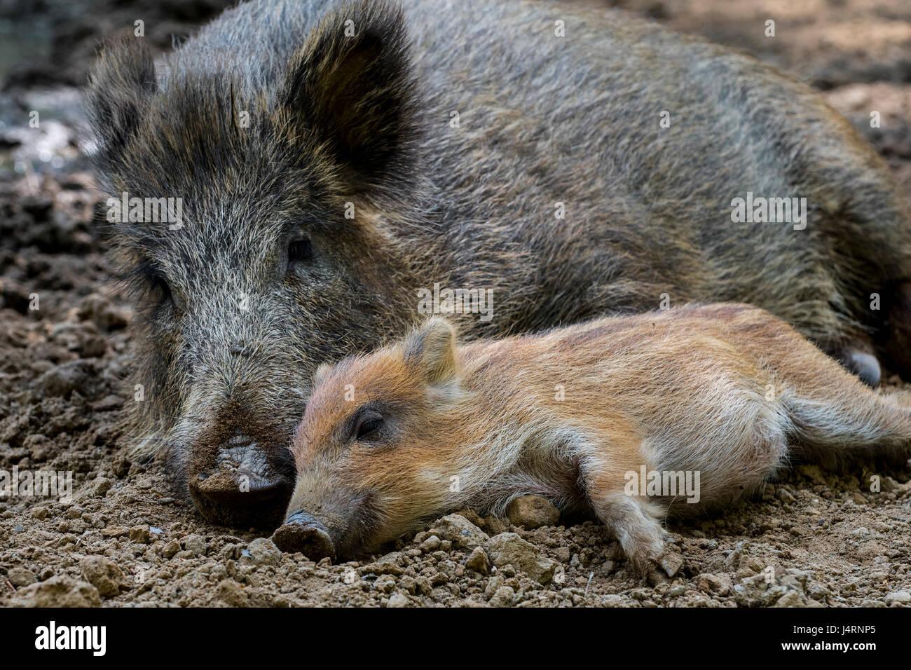 Le sanglier (Sus scrofa) dormant côte à côte avec porcinet dans la boue au printemps Photo Stock