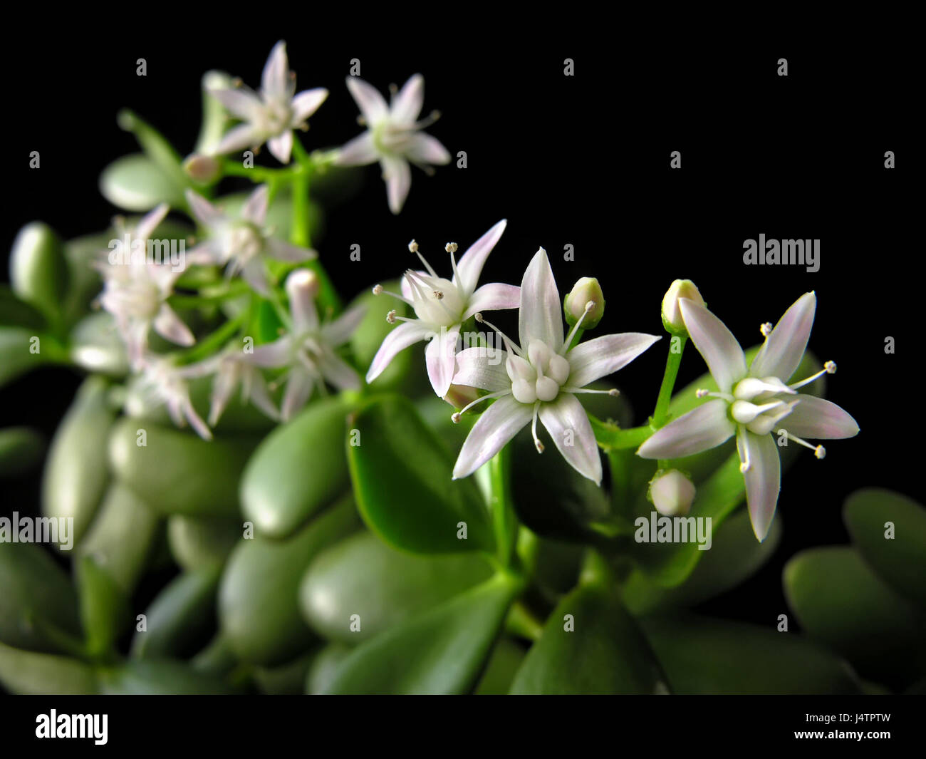 money plant crassula ovata flower photos money plant crassula ovata flower images alamy. Black Bedroom Furniture Sets. Home Design Ideas