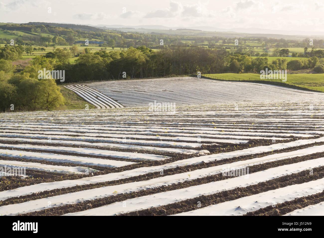 Le paillis de plastique en feuilles rangées sur les champs en protégeant les cultures - UK Photo Stock