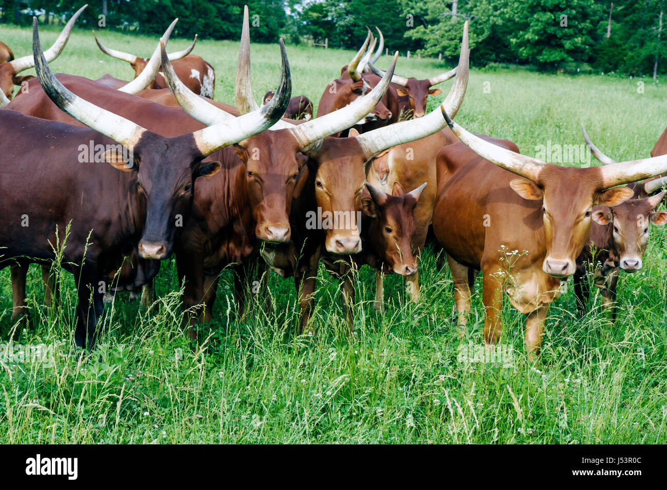 L'Arkansas Maynard bovins Watusi Ankole race africaine mammifère animal importé de grandes cornes Photo Stock