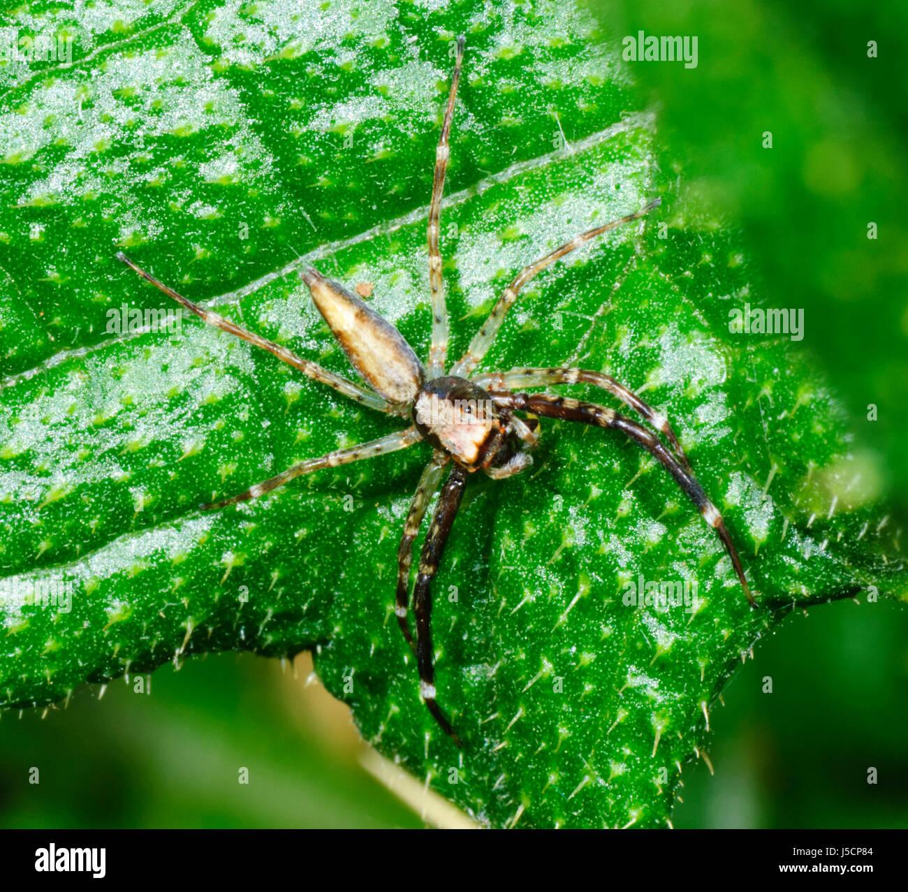 Araignée sauteuse menaçant (Helpis minitabunda), New South Wales, NSW, Australie Photo Stock