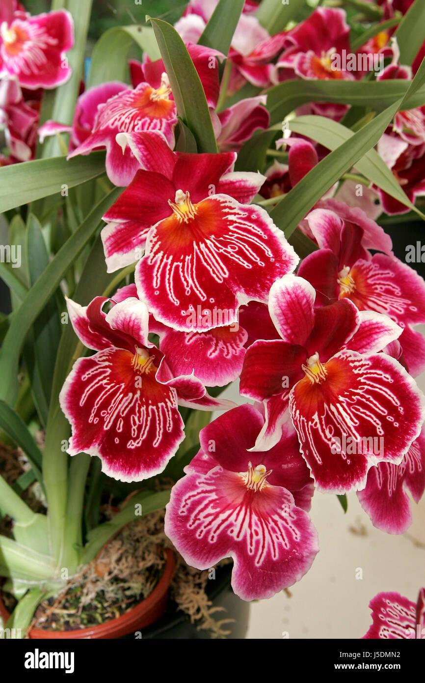 Jardin des plantes ornementales fleur pourriture rouge orchidée ...