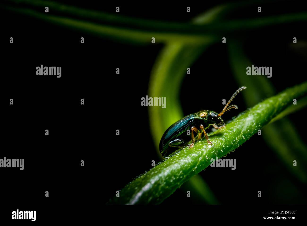 Petit bug métallique sur l'herbe verte en forêt macro photo Banque D'Images