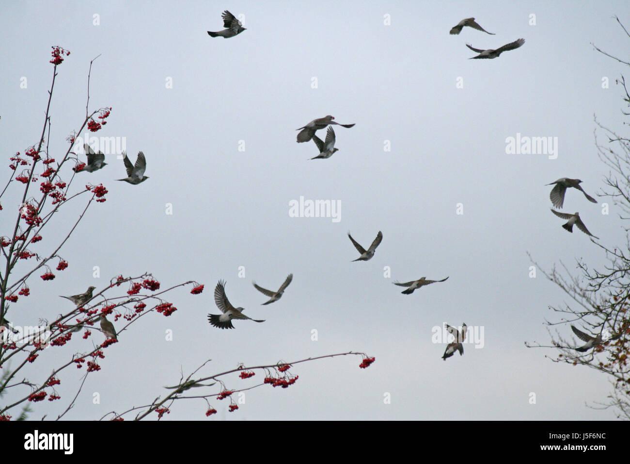 Oiseaux Oiseaux brunâtre brun brunette résine aile europe visiter rowan berries tirer Banque D'Images