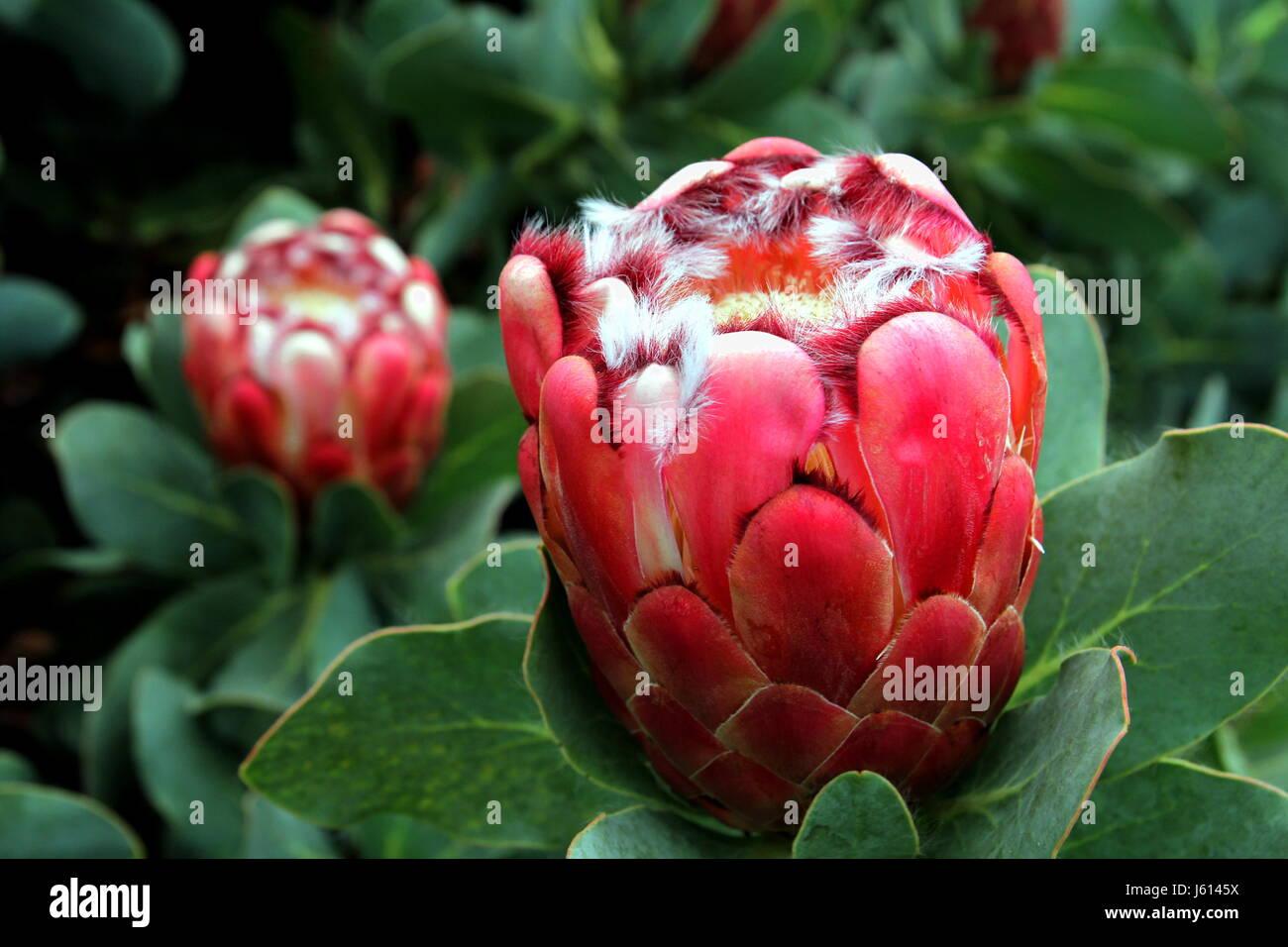Fleur A Bulbe Rouge Vif Avec Fourrure Blanche Et De Touffes De