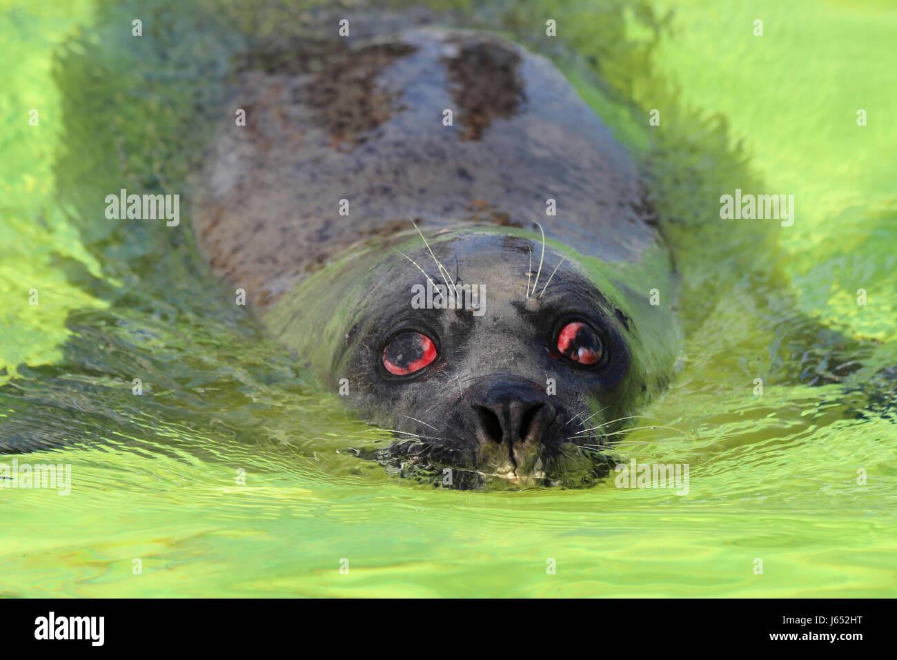 Phoque commun Phoca vitulina avec blessure à l'Œil Photo Stock