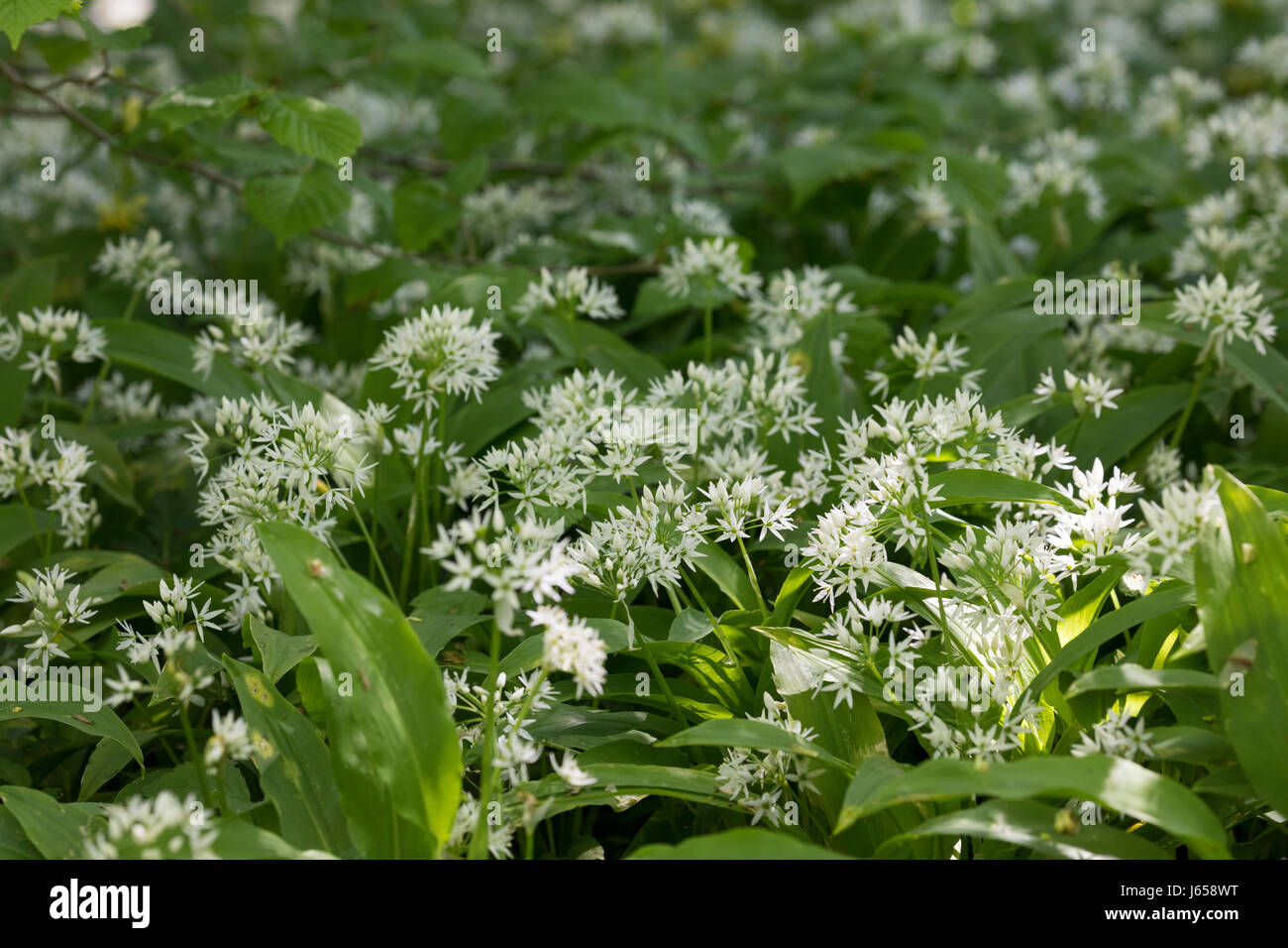 Bärlauch, Bär-Lauch Bärlauchbestand, Bestand, Allium ursinum, Ramsons, bois, l'Ail, Wood-Garlic, Photo Stock