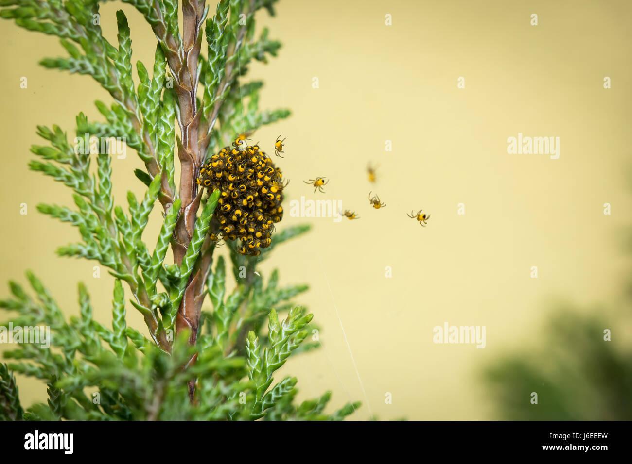 De nombreux jeunes araignées de monter sur un site web Photo Stock