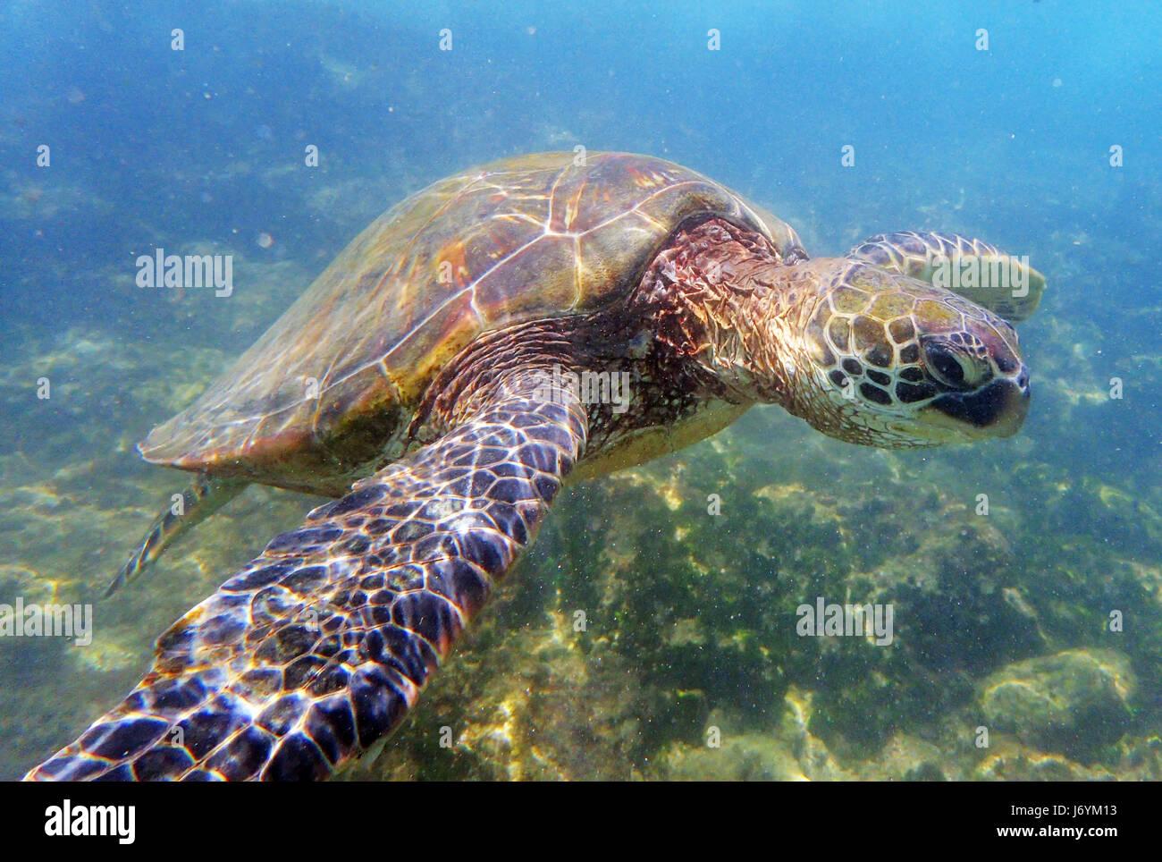 Une tortue de mer verte piscine de la côte de Maui. Hawaï Photo Stock